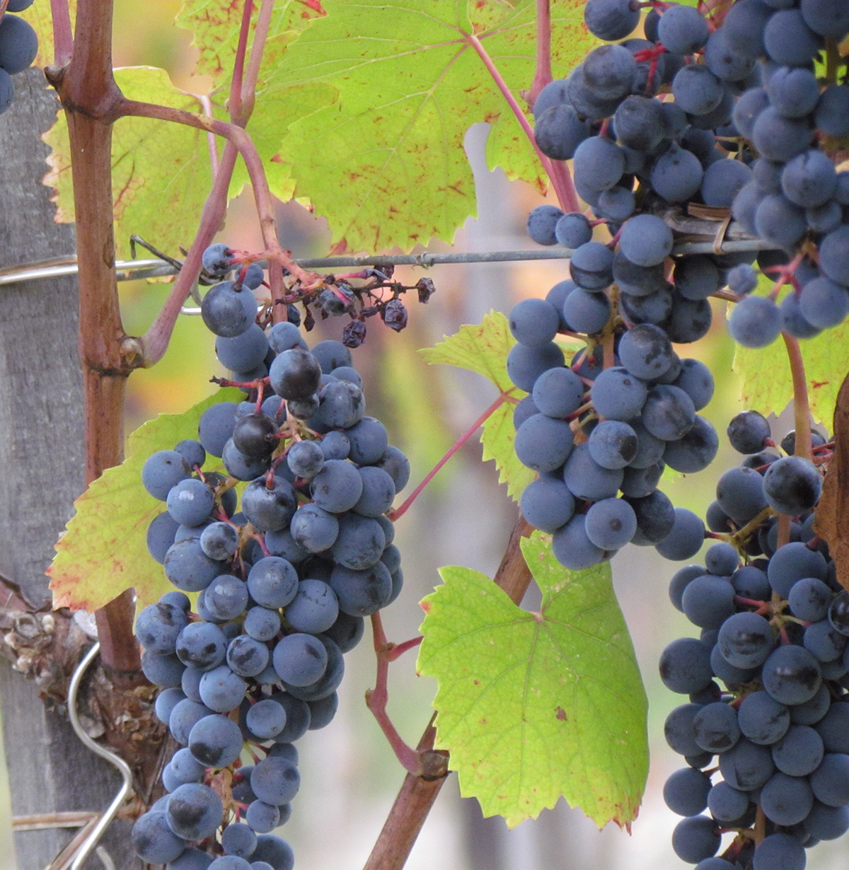 Vineyards in Cremolino, Piedmont, Italy